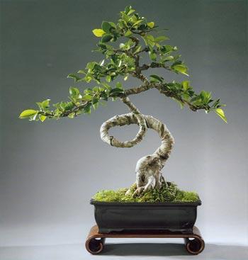 Dragon garden bonsai nursery for Literati bonsai gallery